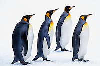 King Penguins (Aptenodytes patagonicus), South Georgia Island.