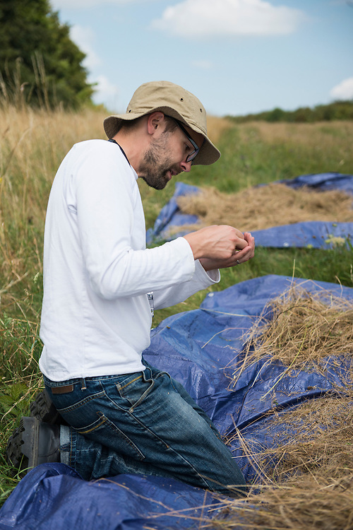 Members of Wakehurst Place (Royal Botanic Gardens, Kew) collect seeds of meadow species at Friston Gallops, Sussex. UK