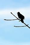 Redwinged Blackbird, Fern Hills Wetlands, Oregon