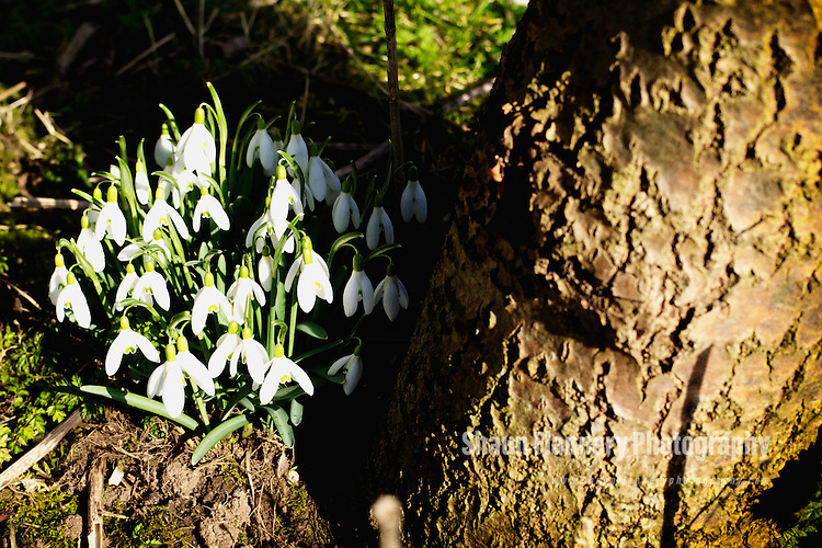 Pix: Shaun Flannery/shaunflanneryphotography.com...COPYRIGHT PICTURE&gt;&gt;SHAUN FLANNERY&gt;01302-570814&gt;&gt;07778315553&gt;&gt;.<br /> <br /> Early spring Snowdrops grow by a tree.