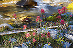Indian Paintbrush flowers along a stream in the Bob Marshall Wilderness area in Montana