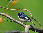Black-throated Blue Warbler (Dendroica caerulescens) male in breeding plumage, New York, USA