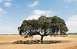 Um grupo de ovelhas, na sombra de um sobreiro.