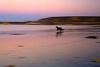 Ocean Park Lompoc, Border collie running on the beach