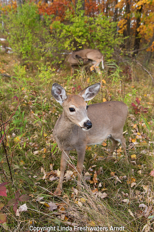 White-tailed fawn with her mom in the background