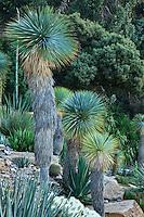 Domaine du Rayol en novembre : le jardin d'Amérique aride, avec agaves, Echinocactus grusonii, Opuntia tunicata et dominé ici par les Yucca rostrata