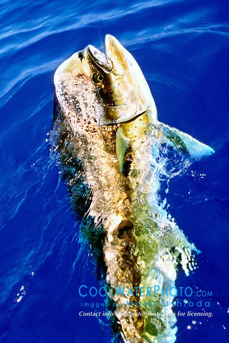 mahi mahi, dolphin fish, or dorado, .Coryphaena hippurus, bull, .Kona, Big Island, Hawaii (Pacific).