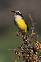 Great Kiskadee, Pitangus sulphuratus,adult eating berry from Chinaberry Tree (Melia azedarach), Lake Corpus Christi, Texas, USA