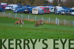 Lixnaw Coursing Club 86th Annual Meeting at Granshagh, Ballinclogher on Sunday <br /> <br /> Ballinvela Kobe (red collar) and Listowel Speed (white collar) running in the semi-finals of the Dew Drop Inn Duffer Stake, Bill O'Connor Memorial Cup and Dan Madigan Cup.