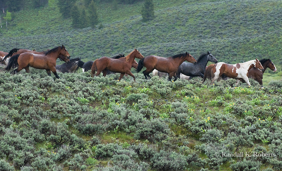 A herd of horses flees across the sage brush after escaping their corral near Jackson Lake Lodge in Grand Tetons National Park, Wyoming.