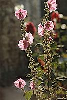 Europe/France/Poitou-Charentes/17/Charente-Maritime/Talmont: Roses trémières