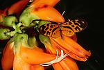 Butterfly, Tambopata River region, Peru