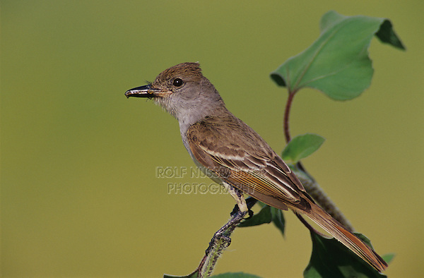 Brown-crested Flycatcher, Myiarchus tyrannulus ,adult with insect on Sunflower, The Inn at Chachalaca Bend, Cameron County, Rio Grande Valley, Texas, USA, May 2004