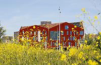 Nederland  Amsterdam  2017.  Science Park van de Universiteit van Amsterdam.  Op de voorgrond geel mosterdzaad in Anna's Tuin en Ruigte. Op de achtergrond Amsterdam University College.  Foto Berlinda van Dam / Hollandse Hoogte