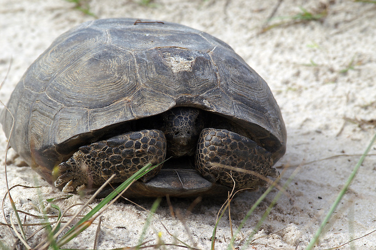 This tortoise has retreated into his shell and is waiting for the camera to leave.