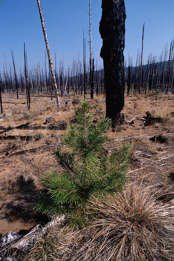 A small tree has been replanted in a burned area of a forest. Deschutes National Forest, Oregon.
