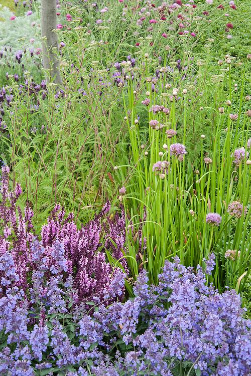 The Italian Job show garden, designed by Jack Dunckley, Hampton Court Flower Show 2012. Plants include: Allium senescens, Knautia macedonica Melton pastels, Nepeta racemosa 'Walker's Low', Salvia x superba 'Rose Queen'.