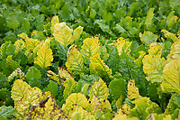 Sugar beet with virus yellows - Lincolnshire, October