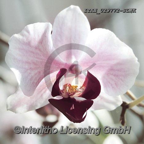 Isabella, FLOWERS, BLUMEN, FLORES, paintings+++++,ITKE029772-SLWK,#f#, EVERYDAY