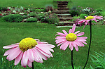 "Pyrethrum variety of chrysanthemums, ""Painted Daisies"" are seen in Janet D. Klausner-Wise's garden at her Amherst home on Thursday, June 13, 2002."