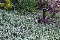 Mentha spicata 'Himalayan Silver' Himalayan Mint groundcover, McAvoy Garden - California summer-dry garden; Ground Studio Landscape Architecture
