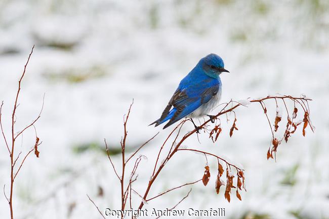 A Mountain Bluebird rides out a late Spring snowstorm in Colorado.
