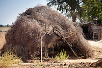 Cow shaded in cow stall sun shelter in Indian Bishnoi village near Rohet in Rajasthan, Northern India