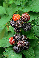 HS34-023c  Black Raspberries - Jewel variety