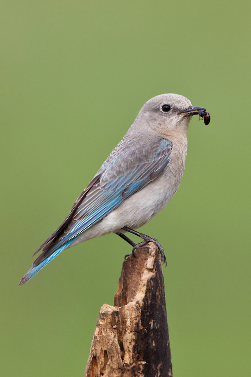 Female Mountain Bluebird with an insect