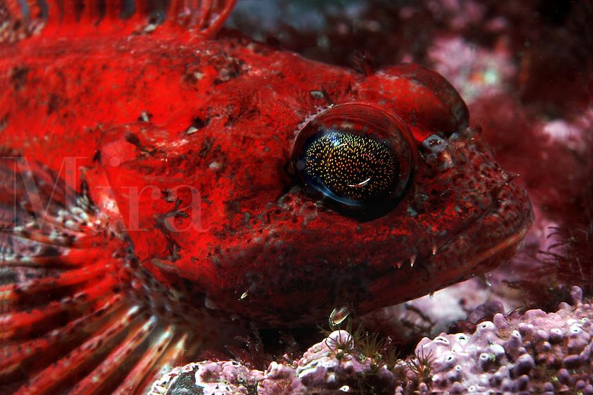 Red Irish Lord, Hemilepidotus hemilipidotus. British Columbia, Canada.