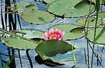 LOCHEM - Waterlelies. Lochemse GC De Graafschap. COPYRIGHT KOEN SUYK