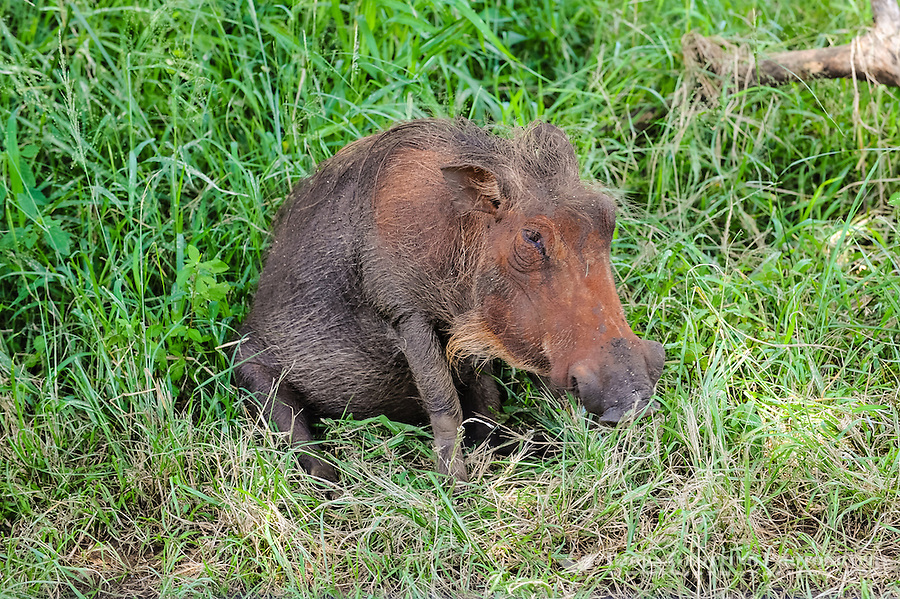 The warthog is a wild member of the pig family. Hluhluwe-Umfolozi Game Reserve, South Africa.
