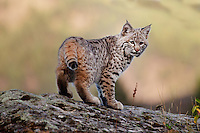 Bobcat standing on top of a lichen-covered rocky hill - CA