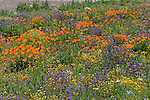 HYDROSEED-PLANTED WILDFLOWERS, CALIFORNIA POPPY, PHACELIA