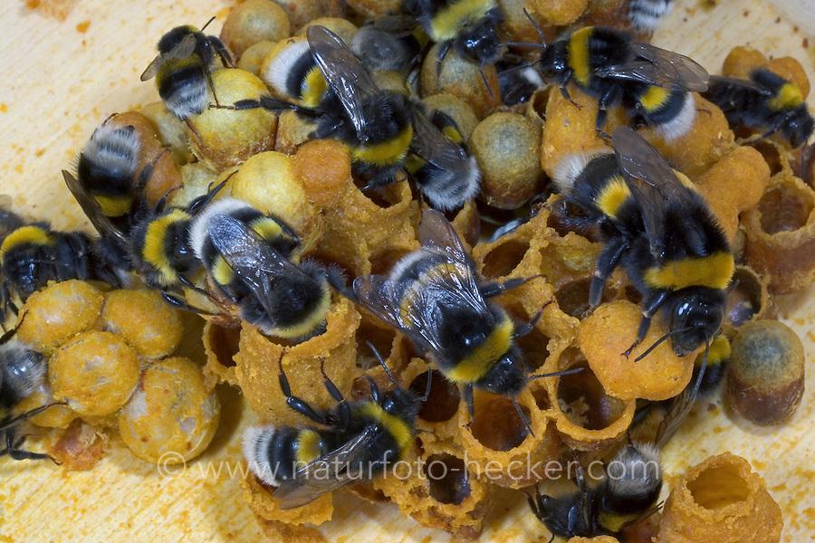 Dunkle Erdhummel, am Nest, Hummelnest, Dunkele Erdhummel, Bombus terrestris, buff-tailed bumble bee