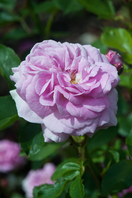Rosa 'Lavender Lassie', late June. A Hybrid Musk shrub rose with fragrant, semi-double or double, purple-pink flowers.