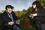 """Foto: VidiPhoto<br /> <br /> ELST – Druiven plukken en druiven prutsen. Om de smaak van de wijn te verbeteren, worden zaterdag tijdens de laatste oogstdag, de rotte en aangetaste vruchten uit de dikke trossen souvinier gris geknipt. Dat is een tijdrovende en secure klus, maar volgens eigenaar Arjan Stam van Wijndomein Keulenhof uit het Gelderse Elst noodzakelijk voor een betere wijn. Hij plukt als vermoedelijk laatste Nederlandse wijngaardenier zijn druiven. Het is van de nog jonge wijngaard met 2000 stokken, de eerste -en onverwachte- oogst. Dankzij de uitgestelde pluk -""""je neemt wel een risico""""- is het suikergehalte erg hoog en de zuurgraad optimaal. Van de verwachte 700 kilo druiven worden in het voorjaar vermoedelijk 500 flessen witte wijn gebotteld. Dat is een cuvee van vier samengevoegde soorten druiven. Het is uitzonderlijk dat van twee jaar oude wijnstokken al zo'n rijke oogst wordt gehaald. Volgend jaar verwacht Stam driemaal zoveel te oogsten. Dan dragen ook de wijnstokken die dit jaar zijn aangeplant (2400 stuks) de eerste vruchten."""