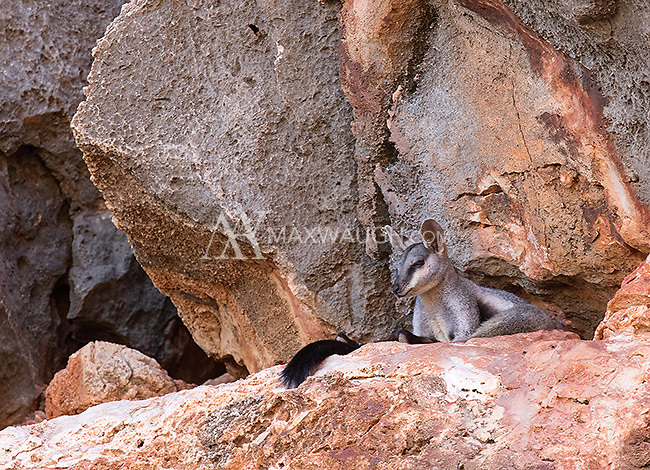 One of the more interesting animals we saw in Cape Range National Park was the Black-flanked rock-wallaby, which makes its home in the rocky cliffsides of the park's river canyons.