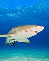 lemon shark, Negaprion brevirostris, with sharksuckers, Echeneis naucrates, Grand Bahama, Bahamas, Caribbean Sea, Atlantic Ocean