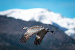 March 21, 2018: With snow capped mountains in the background, a sandhill crane takes flight.  Each spring, as many as 27,000 sandhill cranes migrate through Colorado's San Luis Valley and the Monte Vista National Wildlife Refuge, Monte Vista, Colorado