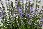 Salvia 'Crystal Blue'. Plant of the Year. RHS Chelsea Flower Show 2017.