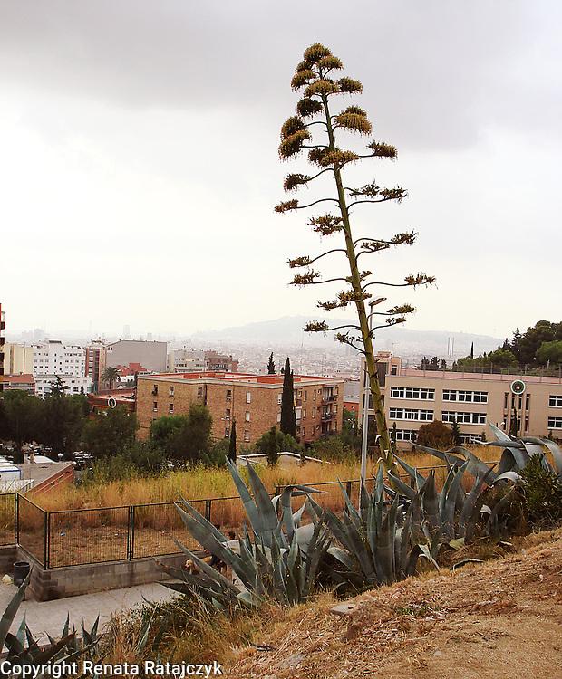 Blooming agava in Barcelona, Spain.