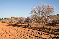 Near Tripoli, Libya - Almond Trees in Blossom