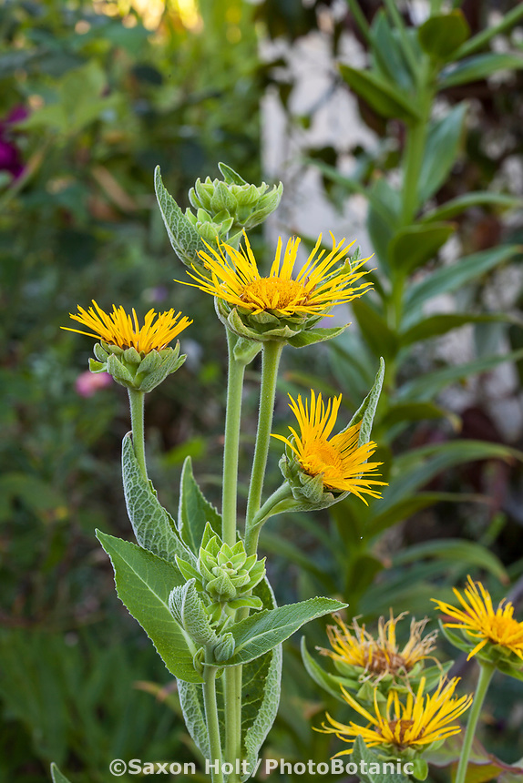 Silphium yellow flowering perennial in Yanker-Hansen garden