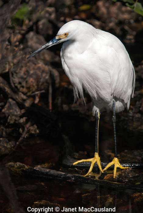 The Snowy Egret is a wading bird, often called Golden Slippers for it's bright yellow feet at the ends of black stockings, or legs.