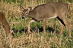 White-tailed doe (Odocoileus virginianus)
