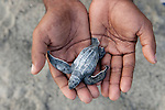Leatherback baby turtle in WWF Sorong Staff Eki's hands.