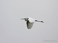 0202-08mm  Flying Snowy Egret, Egretta thula © David Kuhn/Dwight Kuhn Photography
