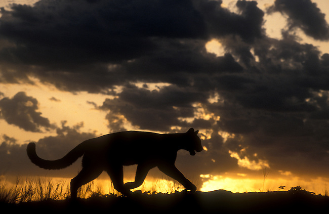 Mountain Lion Silhouetted at Sunrise