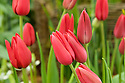 Tulip 'Red Shine' (Lily-flowered Group).